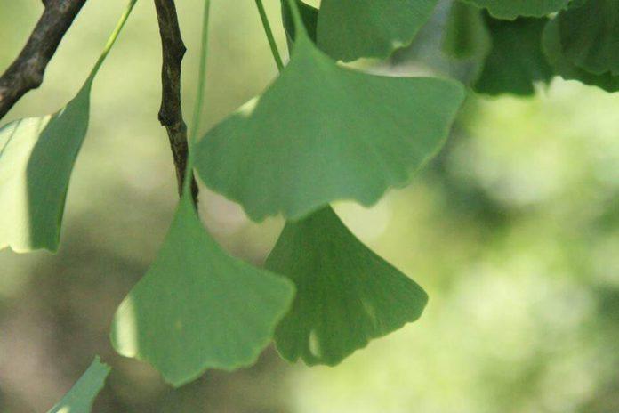 Sequoiadendron giganteum Џиновска секвоја