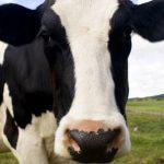 крава krava